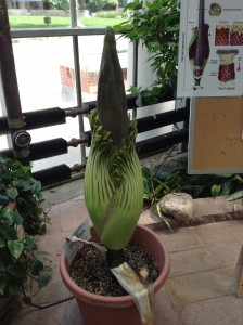 DC Smith Titan Arum 2013 Bloom